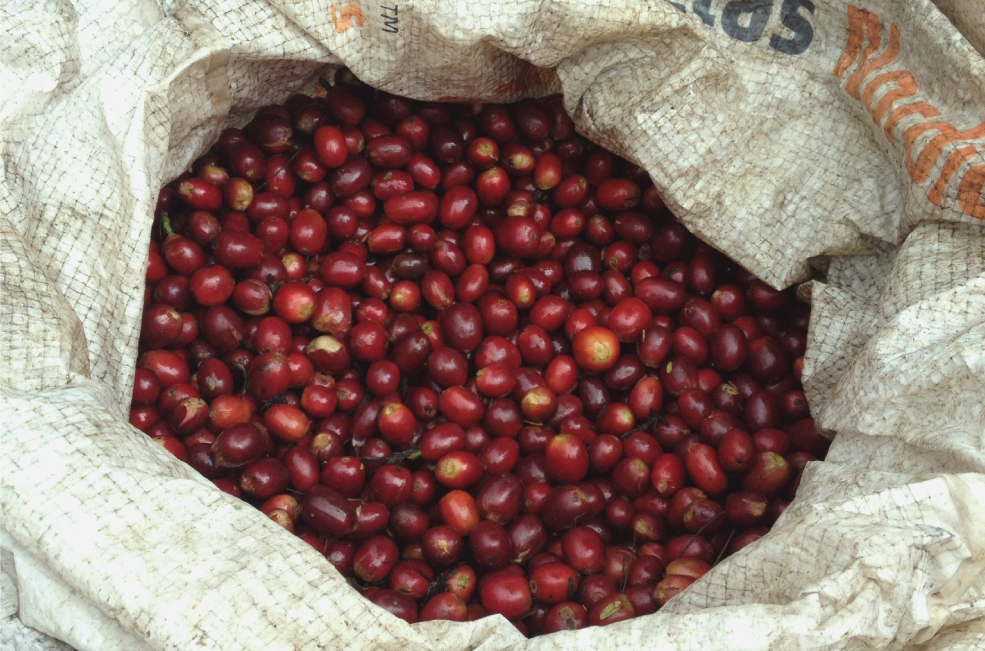 coffee cherries in a bag.