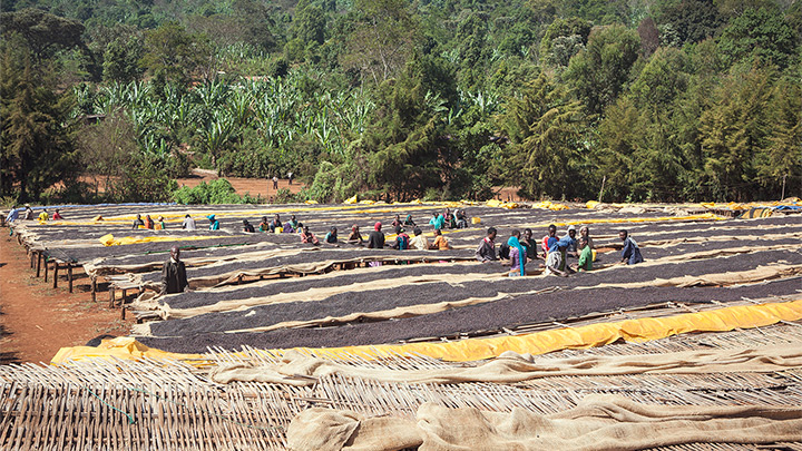 Natural coffee process: coffee cherries being dried on raised beds at the Damota Wolayta Farmers' Cooperative Union in Sidamo, Ethiopia.